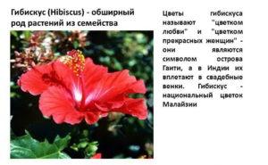 Информация о Гибискусе